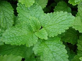 SHIP From US, 50 Seeds Lemon Balm Seeds, DIY Healthy Vegetable AM - $21.99