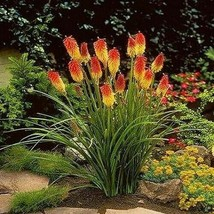 SHIP FROM US 200 Red Hot Poker Flower Seeds (Kniphofia Caulescens), UTS04 - $35.98