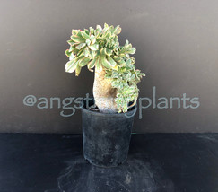 Crested Sunburst Aeonium - $20.00