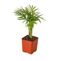 """1 Live Plant - Parlor Palm 2.25"""" Pot #HPS13 - $20.99"""