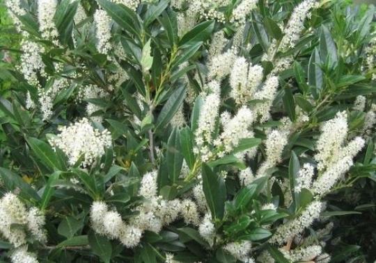 15 Schip Laurel shrub-hedge (Prunus Laurocerasus 'Schipkaensis')