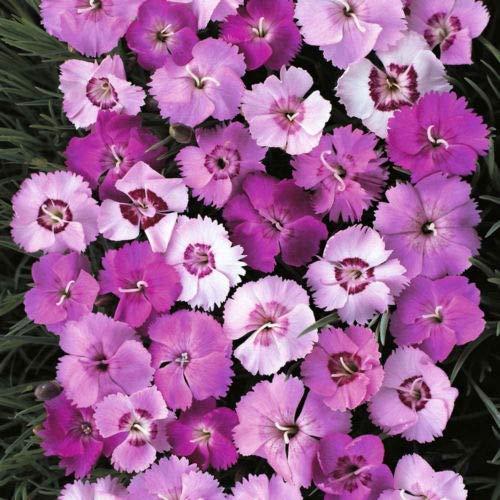 1 Packet of 10 Seeds Dianthus Plumarius Sweetness - Caryophyllaceae - $9.70