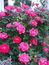 Pink Rose Plant Garden Patio Balcony Ornamental Fragrance Flower Easy To... - $51.80