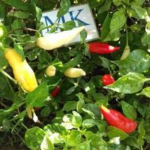 Aji Omnicolor,10 semillas,seeds,Capsicum baccatum,cosecha propia (267) - $2.19