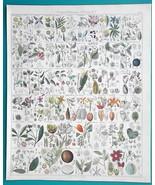 BOTANY Plants Peonia Nutmeg Mallow Papaw Pomegrante Uvaria - 1843 HC Col... - $39.60