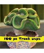 100 pcs /Bag Rare cactus seeds Succulent Perennial Indoor Plant Seeds Tr... - $3.85