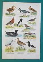 OUR BIRDS Auk Snipe Plover Avocet Crane Guillemot - Charming COLOR Litho... - $16.65