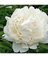 SHIP FROM USA Peony Cream Flower Seeds (Papaver Paeoniflorum) 200+Seeds UDS - $34.93