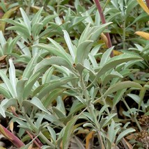 Certified Organic -  Non GMO - White Sage (50 Seeds) - $10.90