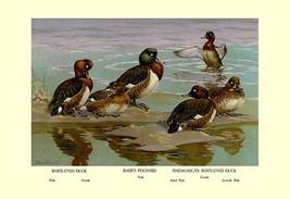White-Eyed Ducks by Allan Brooks - Art Print - $19.99+