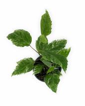 "1 Hibiscus Snow Queen Hibiscus Rosa Sinensis - Live Plant in 4"" Pot #TFPN16 - $37.99"