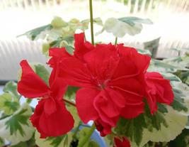 10pcs Very Graceful Double Pelargonium Red Flower Geranium Seed IMA1 - $14.99