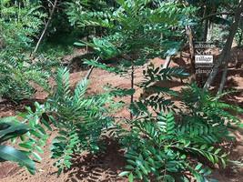 Paradise Tree (Miracle Tree/Lakshmi Taru)  10 Seeds - $9.99