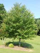 "1 Red Maple Tree 12-20"" tall - $5.99"