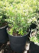 Dwarf Yaupon Holly Big Healthy 3 Gal. Plant Large Easy to Grow Landscape... - $53.30
