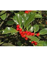 40 Seeds - English Holly Ilex Aquifolium aka European Common Holly #SFB15 - $17.99