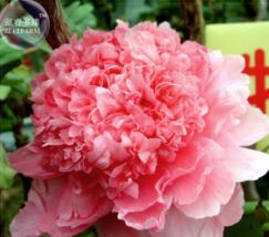 5 seed 'Meilitianshi' Rose Pink Peony Seeds A - $4.80