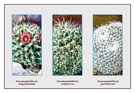 Neomammillaria Magnimamma - Art Print - $19.99+
