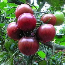20 Seeds/Bag Lycopersicon Esculentum Fruit Seeds Purple Pearl Tomato Veg... - $3.95