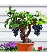 Egrow 50Pcs/Pack Grape Vine Seeds Organic Outdoor Sweet Fruit Seed Succu... - $5.92