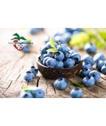 5 BURLINGTON HIGHBUSH BLUEBERRY PLANTS, 2 YEAR OLD, 1 QUART SIZED PLANT ... - $49.45