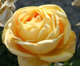 50pcs Beautiful Double Yellow Rose Flower Seeds,Strong Fragrant Rose IMA1 - $15.02
