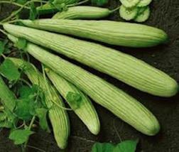 1000 Seeds Armenian Yard Long Cucumber Non-GMO Heirloom new seeds - $24.00