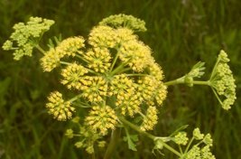 75 Seeds of  PRAIRIE PARSLEY - Polytaenia Nuttallii - $19.00