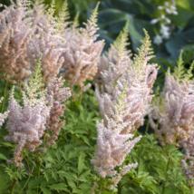 "1 Cut Potted Plant astilbe MILK & HONEY false spirea and & fragrant 2.5"" pot  - $29.99"