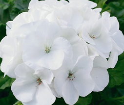 10pcs Geranium Maverick White Perennial Flower Seeds Very Admirable IMA1 - $14.99