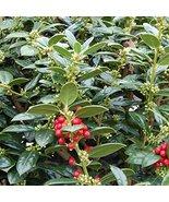FIVE plants Dwarf Burfordi Holly - $36.63
