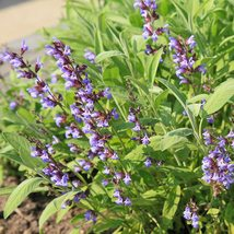 Sage Seeds - Broad Leaved - Home & Garden - Herb - Outdoor Living - FREE SHIPP - $31.99+