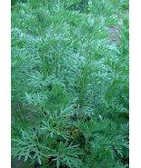 The Dirty Gardener Sagewort Artemisia Annua Sweet Wormwood, 10 Seeds - $7.92