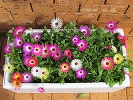 2000 seeds - Livingstone Daisy Mix Seeds - Dry Area Ground Cover Flowers - $7.77