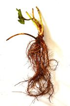 3 Pound Bareroot Plant 70 Everbearing Strawberry Bare Root Fruit Live Pl... - $82.00