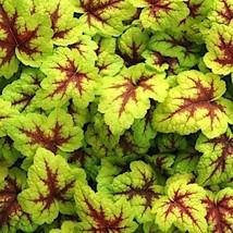 18 Heucherella ' Stoplight ' - Live Plant - Perennial - aka  Foamy Bells - $119.70