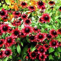 Best Price 200 Seeds Cherry Red Black Eyed Coneflower,Diy Flower Seeds BD192H Dg - $6.04