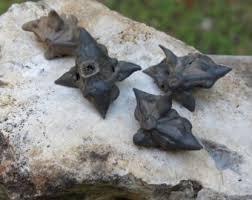 Devil Seed or Bat Nut