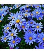 20 Seeds Felicia Blue Daisy Flower - $8.99