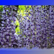 100 Seed 100% True Variety Light Blue Wisteria Climbing, DIY Beautiful T... - $18.99