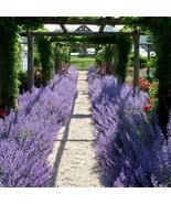 10 Seeds - Russian Sage - Hardy Perennial - $18.96