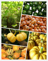 20pcs seeds Atlantic Pumpkin Seeds Garden Seeds For Home  - $4.42