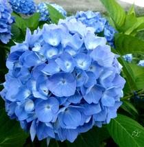 Hydrangea blue 1 thumb200