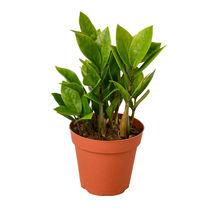 """1 Live Plant - Zamioculcas Zamiifolia ZZ 4"""" Pot #HPS13 - $30.99"""