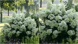 HYDRANGEA 'BOBO'--DWARF HYDRANGEA- PLANT - APPROX 8-12 INCH - $35.99