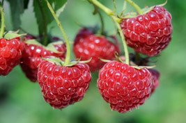6 Potted Meeker Red Raspberry Plants - Great Flavor High Sugar Content - £11.24 GBP
