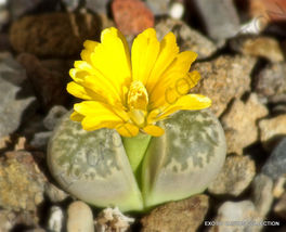Shipped From US_15 Seeds Lithops GEYERI-living Stones Mesembs Rocks succulent-EC - $46.99