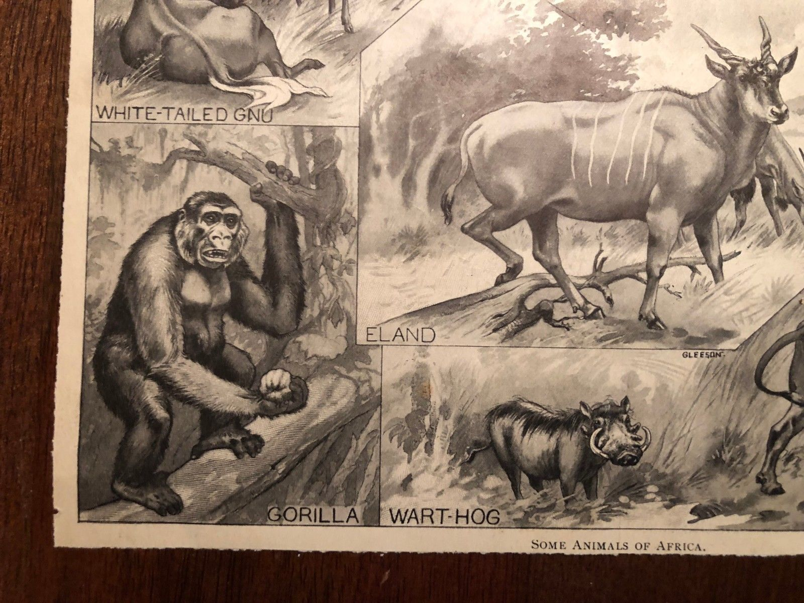 "Vintage Engraving Print of AFRICAN ANIMALS Eland Ostrich Unframed 6"" x 8.5"""