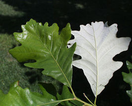 Swamp White Oak Tree - 1 Plant in 1 Gallon Pot - Shade Established Roots - $86.00