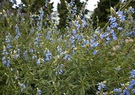 1 Starter Plant of Bog Sage - $27.72